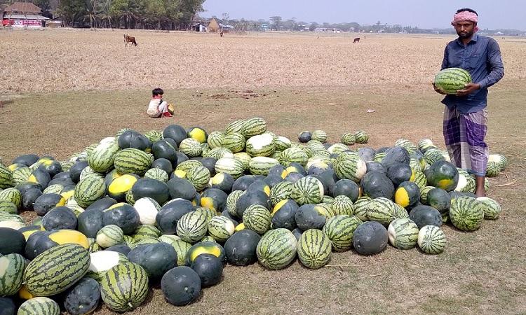 গরমের তৃপ্তিদায়ক ফল তরমুজ। পটুয়াখালীতে হয়েছে বাম্পার ফলন