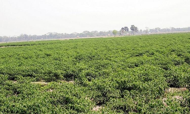 পটুয়াখালীল কলাপাড়ায় কাঁচা মরিচের বাম্পার ফলন।
