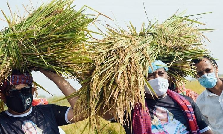 মুন্সীগঞ্জে কৃষকের জমির ধান কেটে দিচ্ছে সেচ্ছাবেকলীগের নেতার্মীরা।