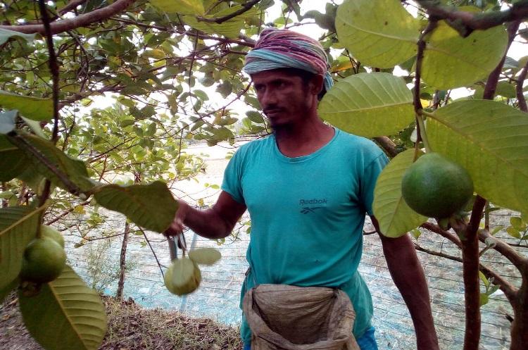 পটুয়াখালীর কলাপাড়ায় পেয়ারা চাষে লাভবান কৃষকেরা