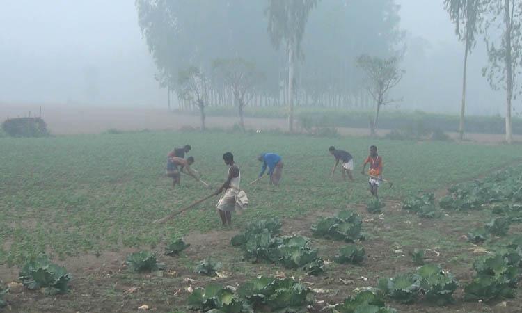 তীব্র শীত উপক্ষো করে মাঠে কাজ করছেন কৃষক