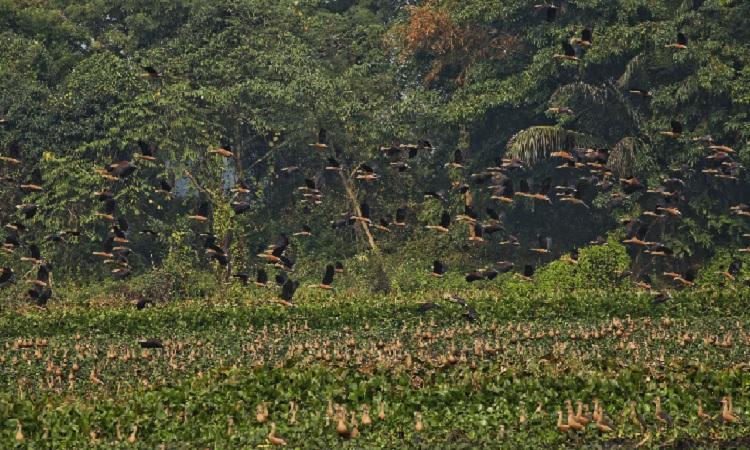 জাহাঙ্গীরনগর বিশ্ববিদ্যালয় এখন মুখরিত হাজারো অতিথি পাখির কলকাকলিতে