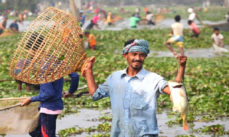 শুকনো মৌসুমে হাওর ও বিলে দল বেঁধে পলো দিয়ে মাছ ধরে শত শত মানুষ