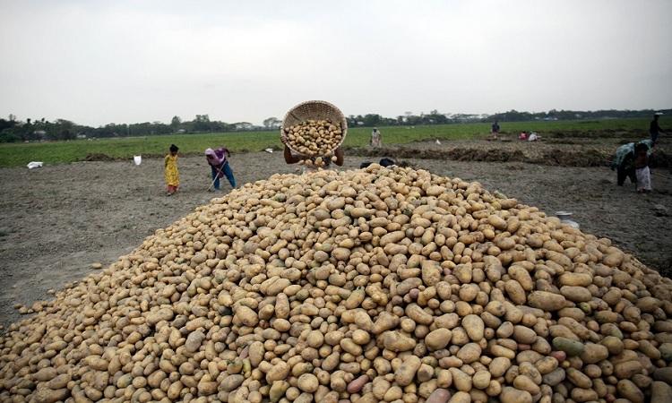 মুন্সীগঞ্জে চলতি মৌসুমে আলু তুলে মাঠে স্তুপ করে রেখেছে কৃষক