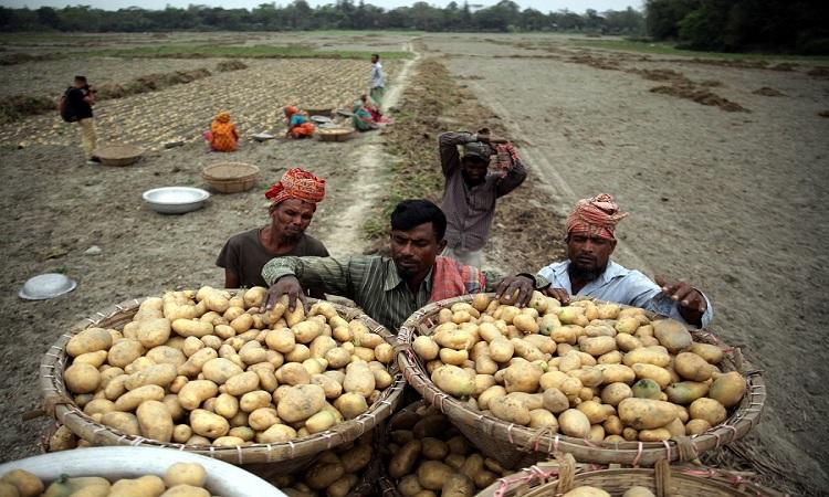 মুন্সীগঞ্জে চলতি মৌসুমে আলু তুলে ভ্যানে করে নিয়ে যাচ্ছেন কৃষক
